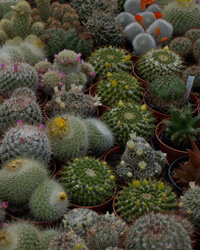 Quick Market Scans for Cactus and Bromeliads from Bolivia